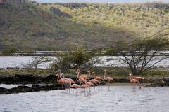 Fenicotteri sul Curacao Fotografia Stock