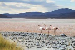 Fenicotteri sul lago rosso, Salar de Uyuni, Bolivia immagine stock libera da diritti