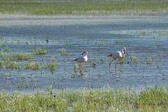 Fenicotteri, uccelli rosa, alimentantesi nelle paludi Immagini Stock Libere da Diritti