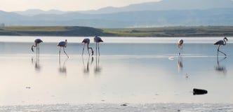 Fenicotteri in un lago Fotografia Stock Libera da Diritti