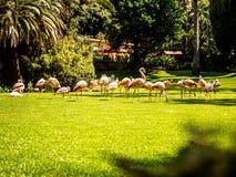 Fenicotteri in un parco con lo stagno fotografia stock
