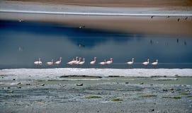 Fenicotteri in una laguna in Bolivia, Bolivia Fotografie Stock Libere da Diritti