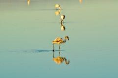 Fenicotteri in uno stagno con la riflessione in acqua Immagini Stock Libere da Diritti