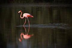 Fenicottero in acqua in Cuba Fotografia Stock Libera da Diritti