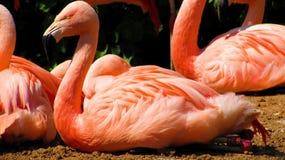 Fenicottero allo zoo di Francoforte Fotografie Stock Libere da Diritti