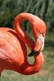 Fenicottero arancione con il collo in forma di s immagini stock