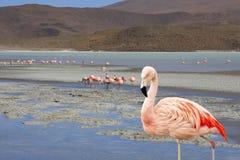 Fenicottero in Bolivia Sudamerica sui laghi di sale Fotografia Stock Libera da Diritti