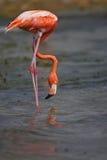 Fenicottero caraibico (ruber di Phoenicopterus) Fotografie Stock