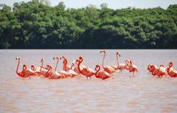 Fenicottero caraibico in Yucatan fotografia stock libera da diritti