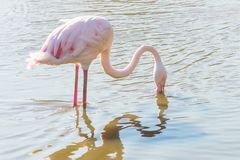 Fenicottero che mangia nell'acqua, fenicottero rosa, fenicottero nel loro ambiente naturale immagine stock