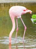 Fenicottero dell'uccello Fotografia Stock