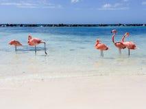 Fenicottero di Aruba Fotografia Stock