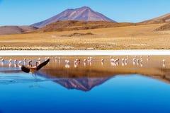 Fenicottero di atterraggio di Laguna Bolivia Fotografie Stock Libere da Diritti