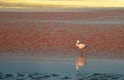 Fenicottero di James che cammina a Laguna Colorada, lago di sale sanguinoso di colore al plateau di altiplano, Bolivia immagine stock libera da diritti