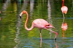 Fenicottero rosa Immagini Stock Libere da Diritti