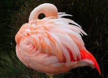 Fenicottero rosa Fotografie Stock