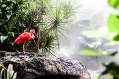 Fenicottero rosa Fotografie Stock Libere da Diritti