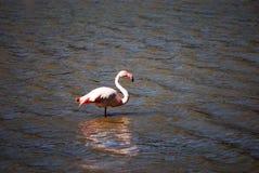 Fenicottero rosa Fotografia Stock