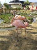 Fenicottero rosa Fotografia Stock Libera da Diritti
