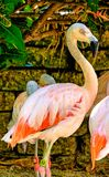 Fenicottero rosa ai giardini incavati di Florida Immagine Stock Libera da Diritti