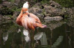 Fenicottero rosa che sta su una gamba Fotografie Stock