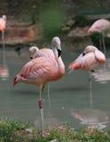 fenicottero rosa con le piume colorate ed il becco lungo Fotografia Stock