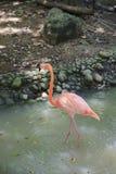 Fenicottero rosa nell'habitat della natura fotografia stock libera da diritti