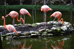 Fenicottero, rosa, uccelli, tropici, Yucatan, Messico Fotografia Stock Libera da Diritti
