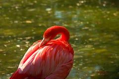 Fenicottero rosso Fotografia Stock