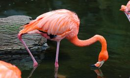 Fenicottero rosso unico in un lago, alta foto di definizione di questo aviario meraviglioso nel Sudamerica Fotografie Stock