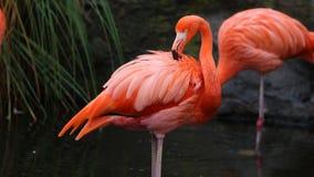 Fenicottero rosso unico in un lago, alta foto di definizione di questo aviario meraviglioso nel Sudamerica Immagine Stock