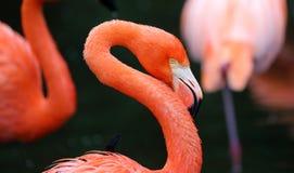 Fenicottero rosso unico in un lago, alta foto di definizione di questo aviario meraviglioso nel Sudamerica Fotografia Stock