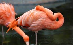 Fenicottero rosso unico in un lago, alta foto di definizione di questo aviario meraviglioso nel Sudamerica Immagine Stock Libera da Diritti