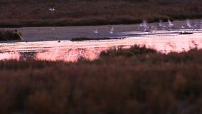 Fenicottero selvaggio in un'area di conservazione stock footage