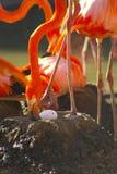 Fenicottero sul nido Fotografia Stock