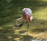 Fenicottero, uccello Fotografie Stock
