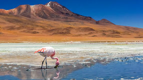 Fenicottero in un lago Fotografie Stock