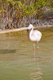 Fenicottero in un lago artificiale Fotografie Stock Libere da Diritti