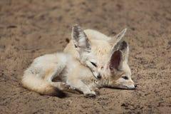 Fenków lisów Vulpes zerda Zdjęcie Stock