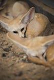 Fenka lis lub pustynia lis dosypianie na ziemi Zdjęcie Stock