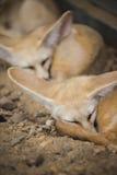 Fenka lis lub pustynia lis dosypianie na ziemi Zdjęcie Royalty Free