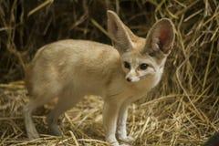 Fenka lis mały psi traken/ Obrazy Royalty Free