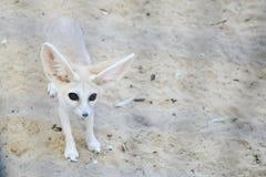 Fenka lis w Tozeur zoo Zdjęcia Royalty Free