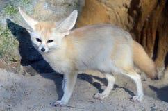 fenka lisa vulpes zerda Zdjęcie Stock