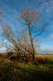 Fenland poplar without leaves Royalty Free Stock Images