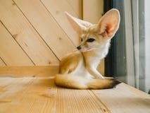Fennec狐狸作为宠物 图库摄影