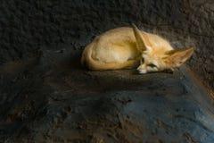 Fennec狐狸在小室休息 免版税库存照片