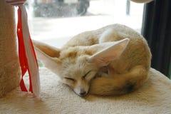Fennec狐狸或fennec狐狸zerda是在北非撒哈拉大沙漠找到的一只小夜的狐狸  他们的大耳朵,是 库存图片