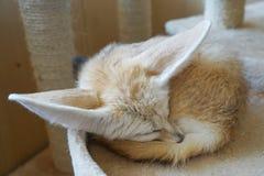 Fennec狐狸或fennec狐狸zerda是在北非撒哈拉大沙漠找到的一只小夜的狐狸  他们的大耳朵,是 图库摄影