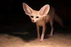 fennec狐狸 免版税图库摄影